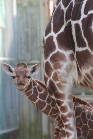 Premature Baby Giraffe