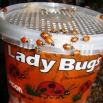 upclose-ladybugs-1