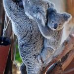 koala-joey