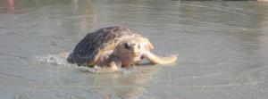2013 Tybee Turtle Trot