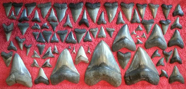 shark tooth and fossil hunt in Beaufort S.C.