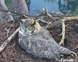 Great Horned Owl Cam Savannah The Landings Skidaway Island