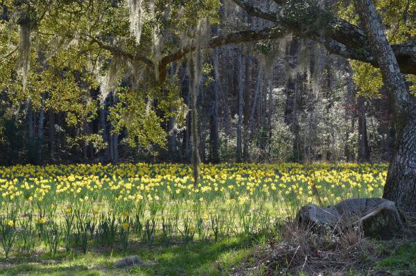 U-pick daffodils Bluffton Okatie Savannah