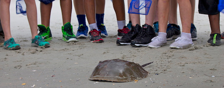 Horseshoe Crab Encounters Program Georgia Marine Education Center