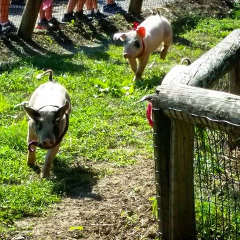 Holiday Farms pig races pumpkin patch hayrides savannah ridgeland