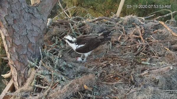 landings bird cam osprey 2020