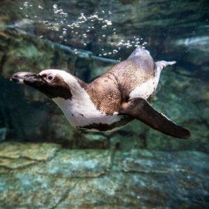 penguin webcam Georgia Aquarium