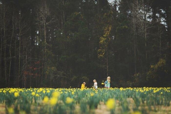 u-pick daffodil bluffton okatie s.c.