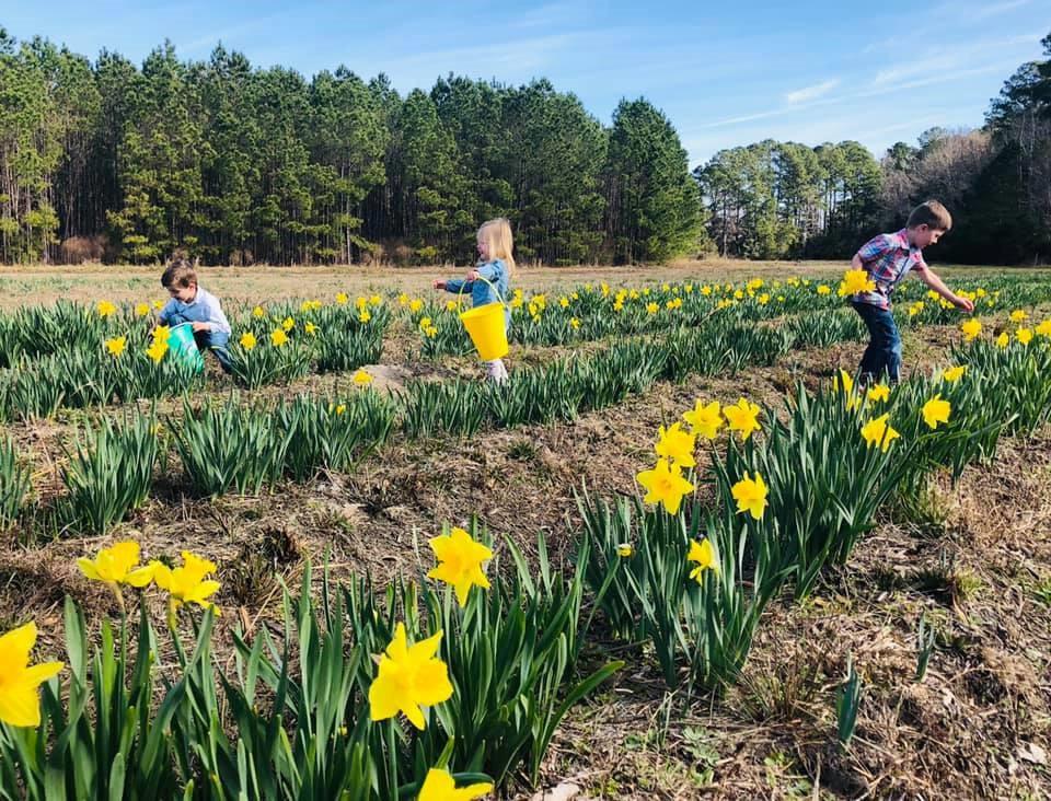 u-pick daffodils okatie bluffton hilton head savannah